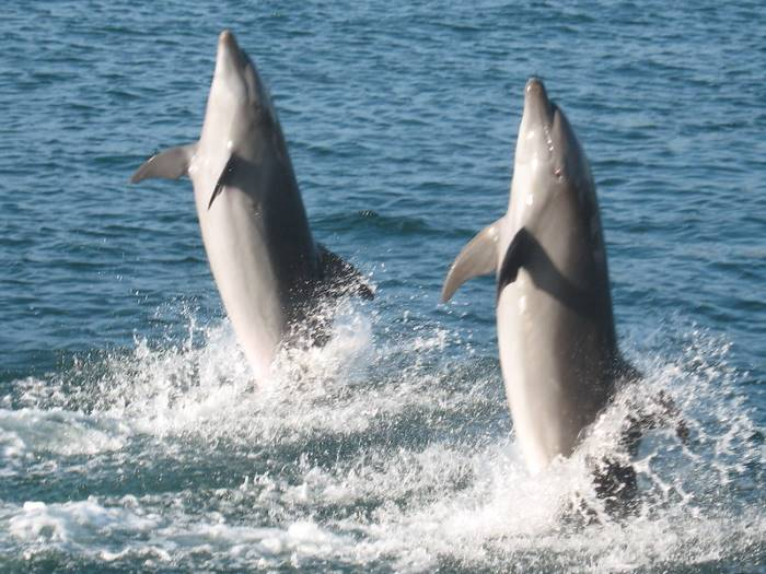 two_dolphins_dancing