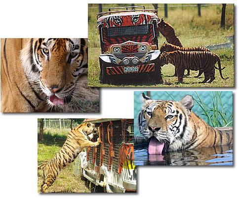 zoobic_tigers